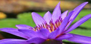 flor del lirio azul