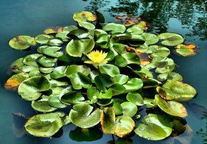 flor del lirio japones