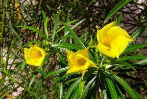 adelfa amarilla