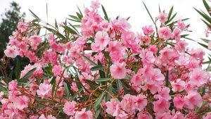 adelfa rosada
