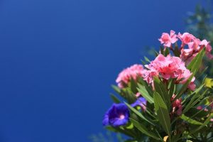 caracteristicas adelfa rosada