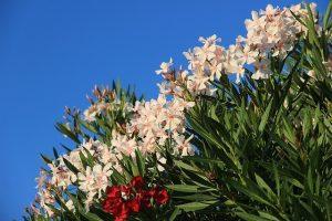 cultivar una adelfa en jardin