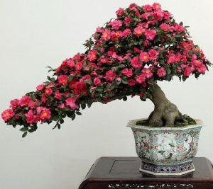 camelia bonsai
