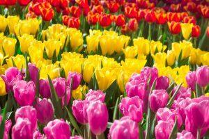 características del tulipán